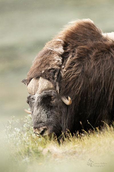 cristina-abilleira-bufalo